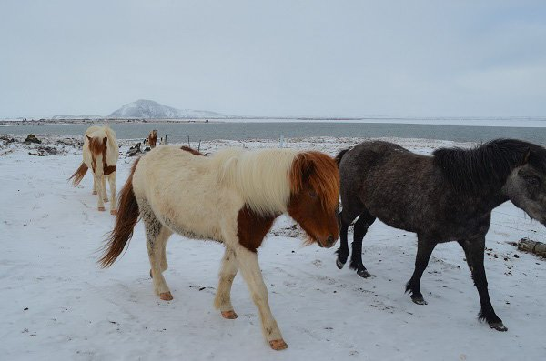 Icelandic horses look like ponies. They're very friendly.