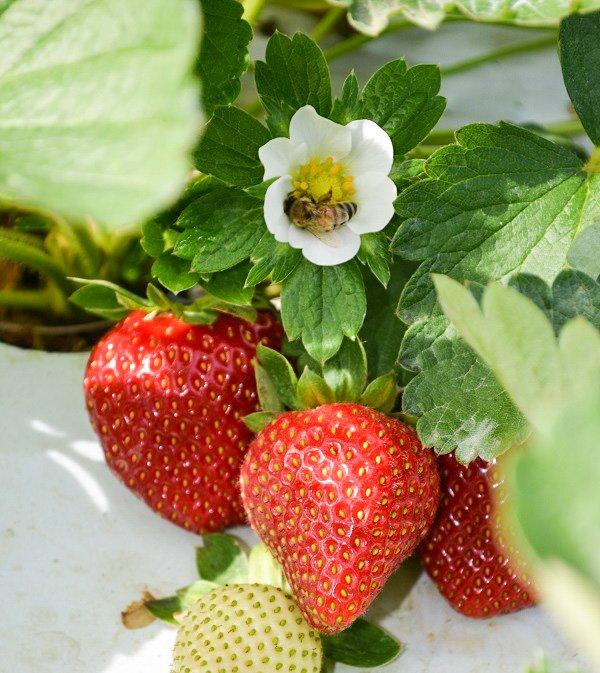 knaus berry farm