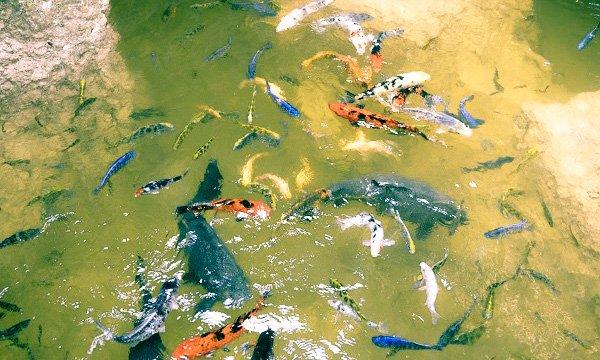 schnebly's koi pond